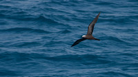 ___charadriiformes, __laridae, brown, noddy_100503_0914