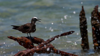 ___charadriiformes, __laridae, brown, noddy_100503_1020