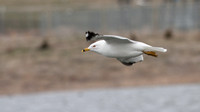 ___charadriiformes, __laridae, _gull, ring-billed_110420_4211