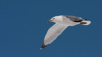 ___charadriiformes, __laridae, _gull, ring-billed_130416_9432