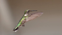 ___apodiformes, __trochilidae, _hummingbird, ruby-throated_130907_5185