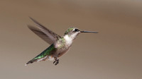 ___apodiformes, __trochilidae, _hummingbird, ruby-throated_130907_5201